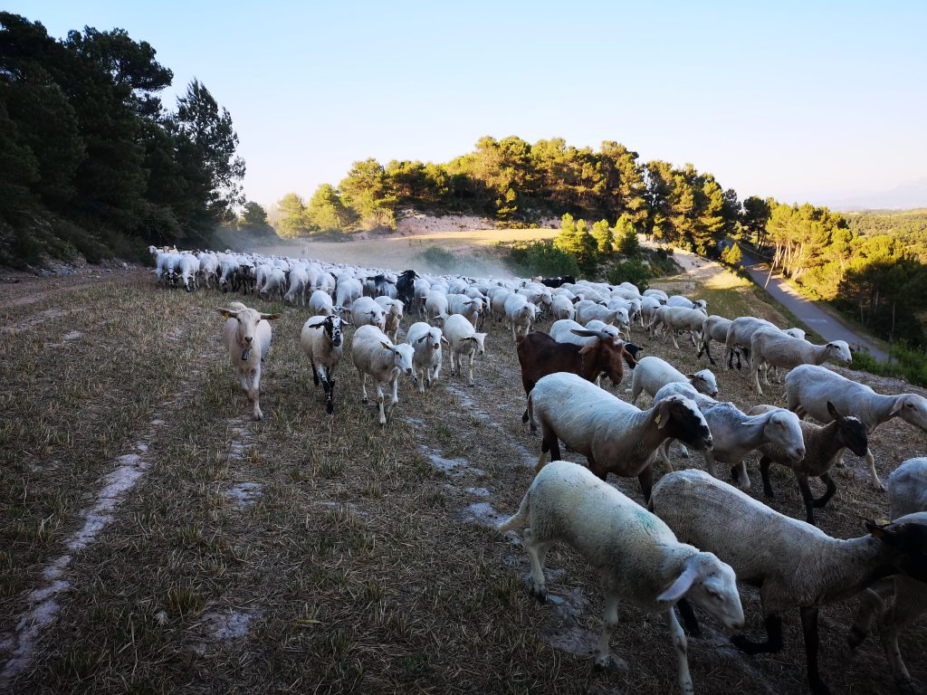 Rebaño de Cal Serrats