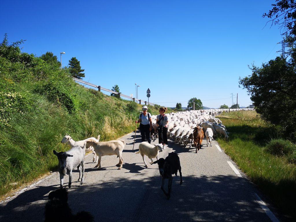 Pastor por un día: paseando con 600 ovejas